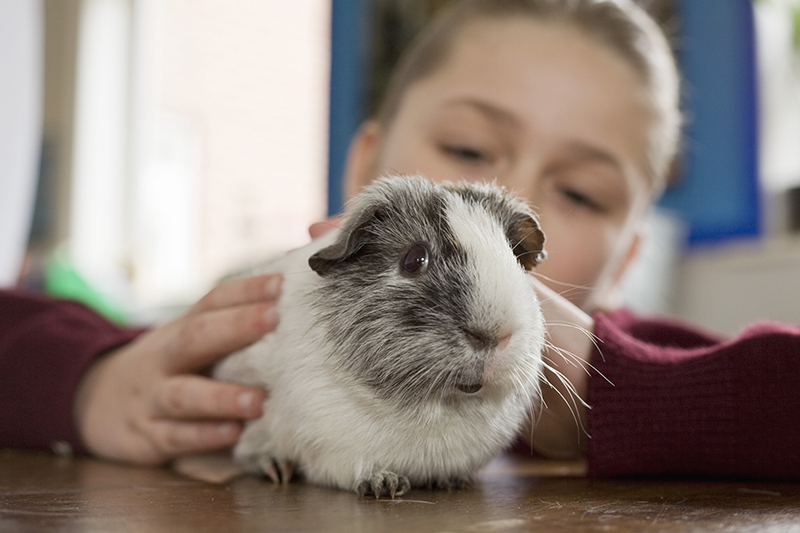 feature-guinea-pig-adopt-a-rescued-guinea-pig-thinkstock-86505242
